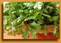 Indian spices of coriander in history and uses.