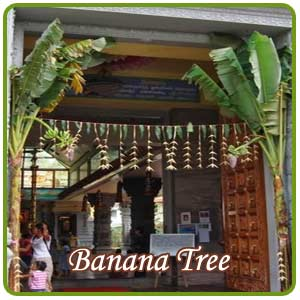 Significance Of Banana Tree In Weddings Indianmirror