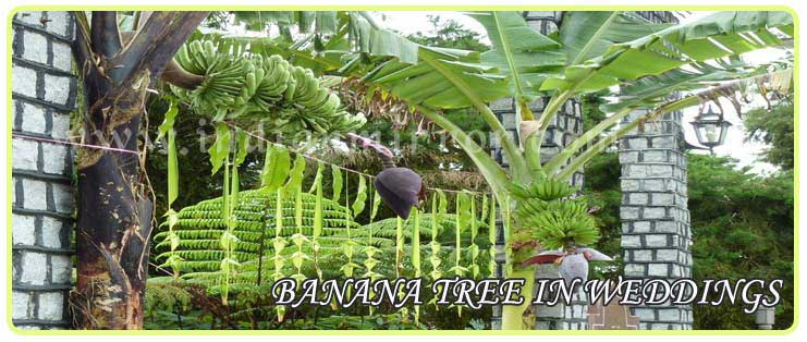 Significance of banana tree in weddings indianmirror banana tree in weddings junglespirit Gallery