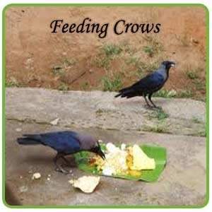 SIGNIFICANCE OF FEEDING CROWS-INDIANMIRROR