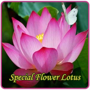 Singnificance of lotus as a special flower indianmirror mightylinksfo