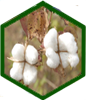 Indian cotton at A Glance in 2020 - 2021