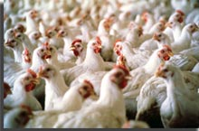 Indian Poultry Industry