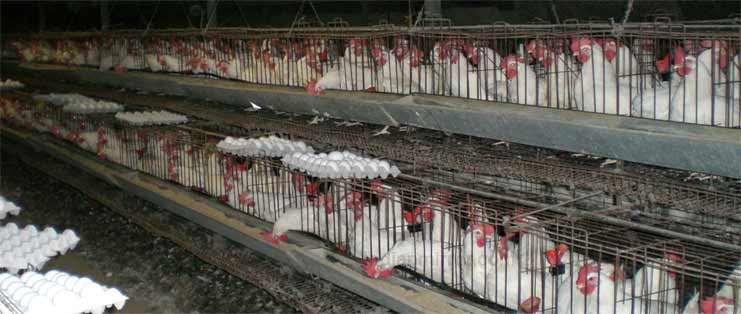 Poultry Industry, Poultry Industry in India, Indian Poultry
