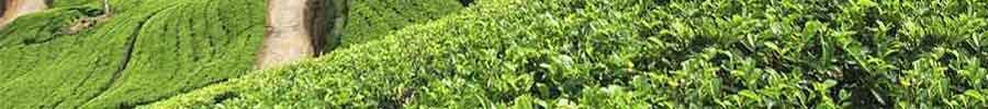 Indian Tea Industry