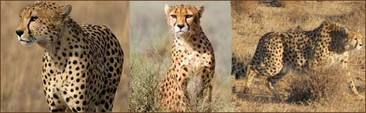 Asiatic Cheetah or Asian Cheetah is one of the rarest cat